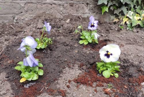 garden sos pansies